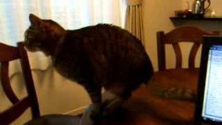 """猫のケンカを動画で見ていたら、我が家の猫""""にゃお""""がものすごい食いつ..."""