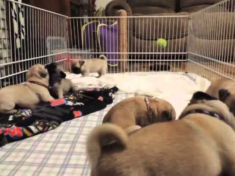 Pure Bred Pug Puppies Fawn And Apricot Youtube
