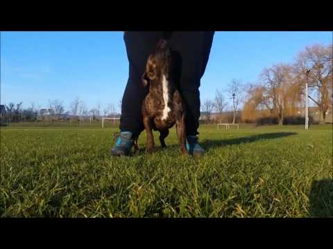 Staffordshire Bull Terrier life 2 - amazing tricks and obedience