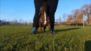Staffordshire Bull Terrier life 2  amazing tricks and obedience