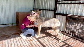 Самый добрый Волк в мире , якутский волк Братиш. Luxury life wolfs