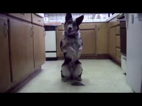Smartest dog ever ??