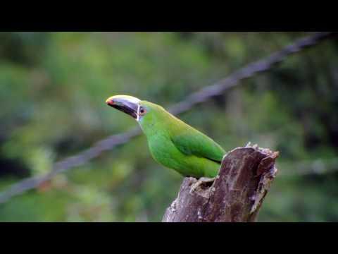Tucancitos Verdes -  Juego con frutas