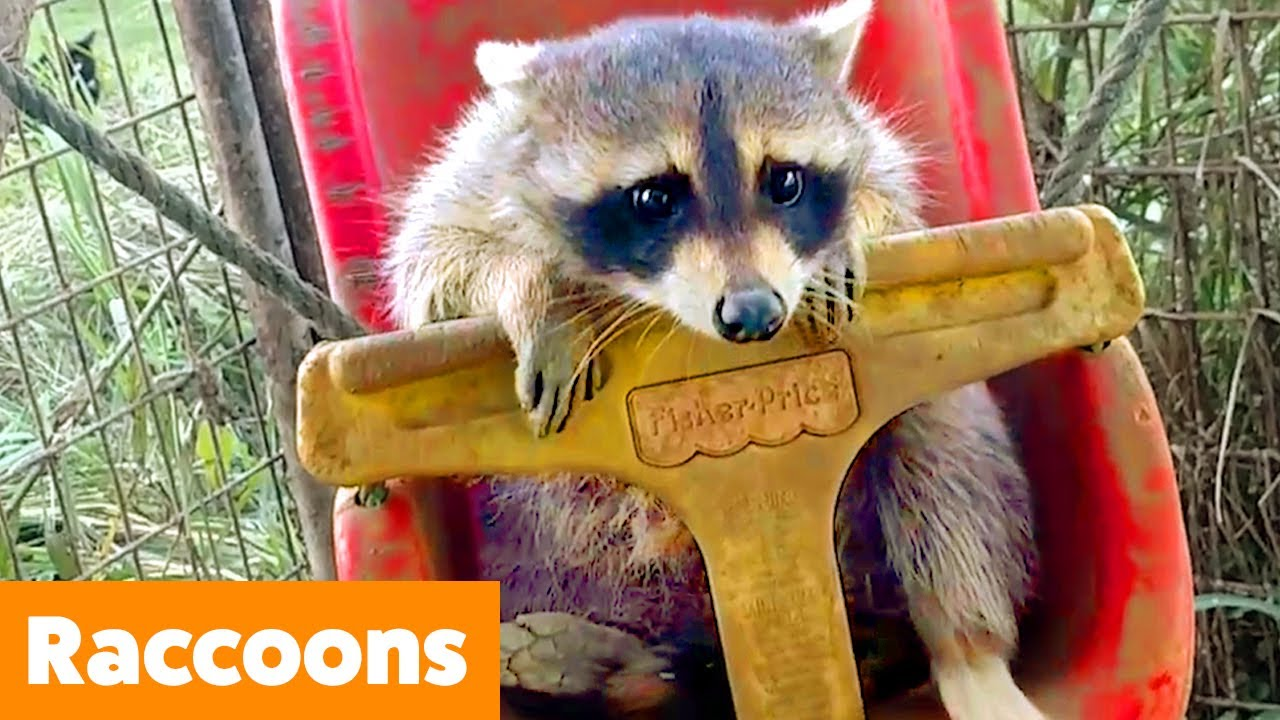 Silly Raccoon Reactions | Funny Pet Videos