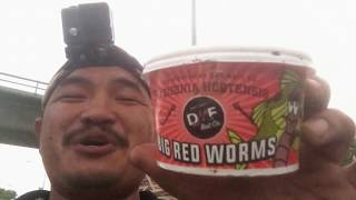 """Bait """"TESTING"""" for fishing: Big Red Worms!"""