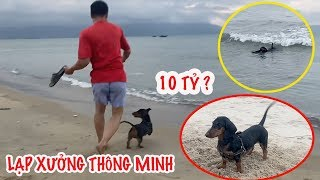 Chó Dachshund (Chó Lạp Xưởng) cực THÔNG MÏNH chơi trò Ném Dép Lặn Biển cùng ông chủ