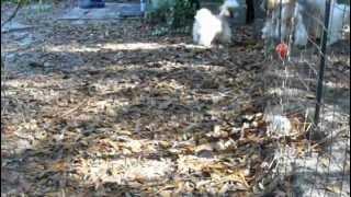 Shihtzuga.weebly.com Shih Tzu Gld/white Puppy