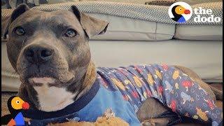 Anxious Pit Bull Dog Calms Down In Pajamas | The Dodo