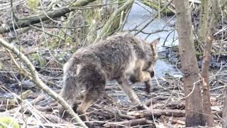Wilk uratowany przez leśników z Dwukół