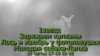 1 заезд Заряжаем капканы Лось и изюбрь у фотоловушек Молодая собака   Лапка (1 часть) 17 19 10 18
