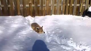 Corgi V. Snowpocalypse