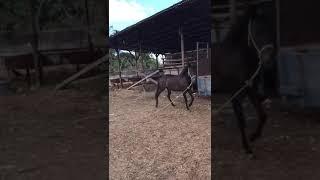 kuda pacuan sumba barat di NTT