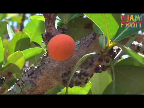 Harvesting Imbe African Mangosteen Youtube
