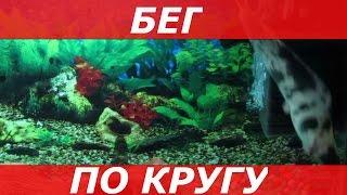 Аквариумные Сомы Клариасы /Игры Сомов в Догонялки