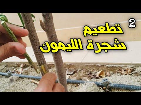 تطعيم شجرة الليمون طريقة شق اللحاء Youtube