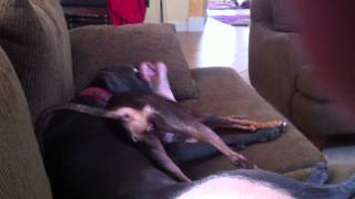 Blue Weimaraner Kaia Playing With Dobie Rescue Minki.