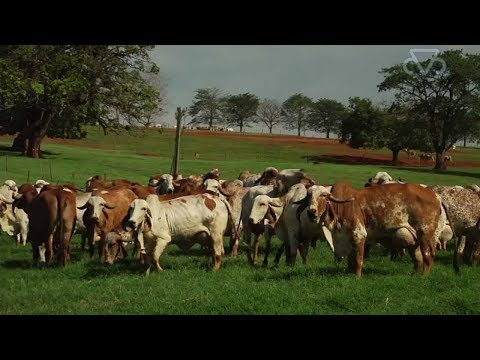 Brazil Vs indian indigenous Breed