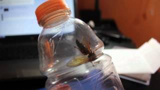 Cicada Killer? Giant Hornet?