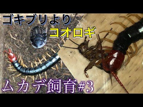[ムカデ飼育#3]ゴキブリよりもコオロギ