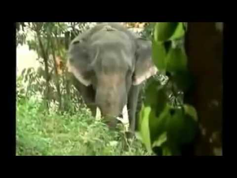 Kerala Elephant attack new 2019 - YouTube  Kerala Elephant Attack Youtube