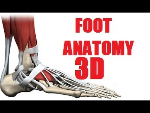 Foot Muscles Anatomy part 1/2 - YouTube