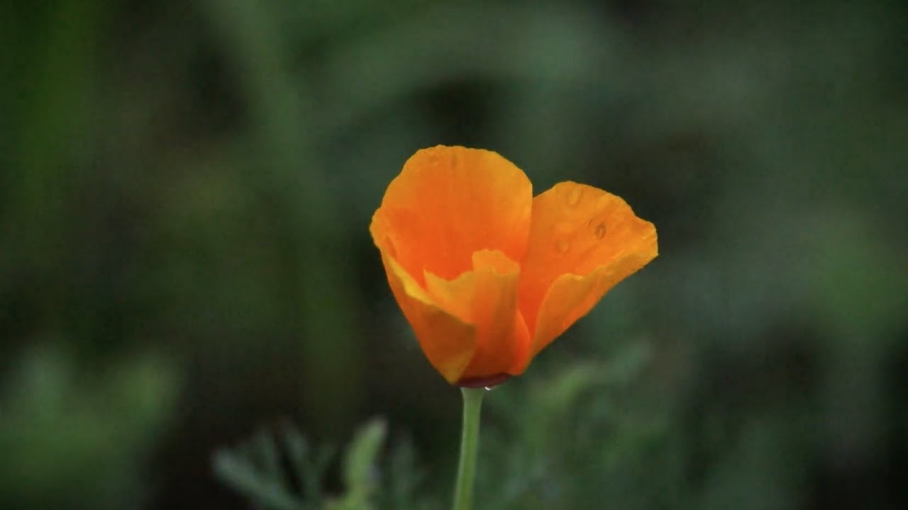 California Poppy The Journey From Seed To Shelf Youtube