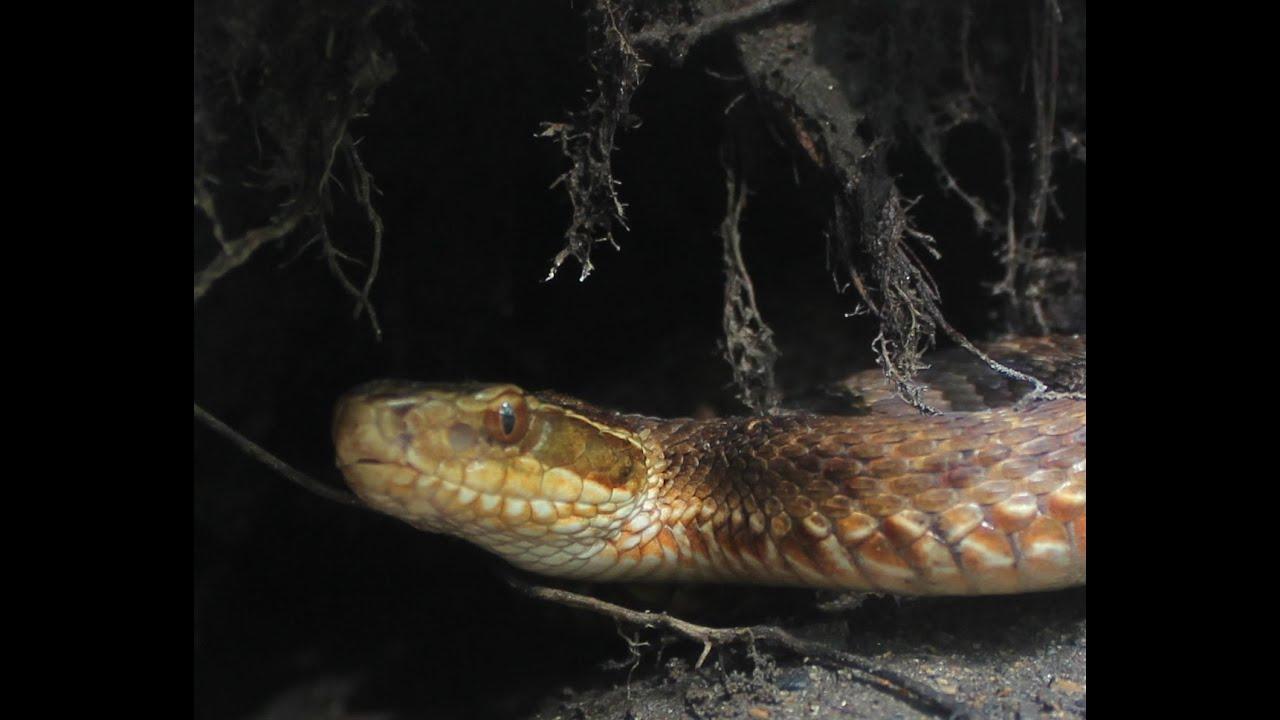 приморские змеи ядовитые фото штрихи для гнезда