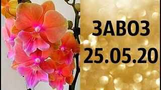 🌸Продажа орхидей. ( Завоз 25. 05. 20 г.) Отправка только по Украине. ЗАМЕЧТАТЕЛЬНЫЕ КРАСОТКИ👍