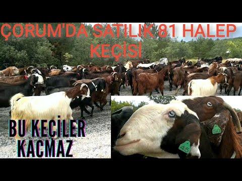 Nam- Değer (Hasan Gürel) Honamlı Keçilerini Tanıtıyor: Duacı Köyü-Antalya