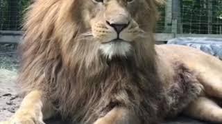 Гордый Лев