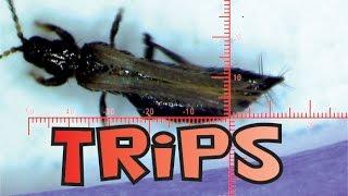 TRIPS EN MOVIMIENTO (THYSANOPTERA)