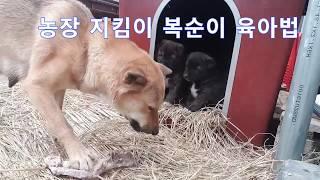 블루베리 농장 진돗개 복순이 육아 교육법 (생초보 농민…