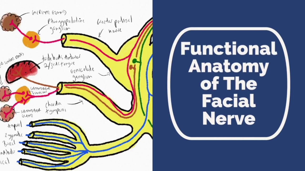 Functional Anatomy Of The Facial Nerve Youtube