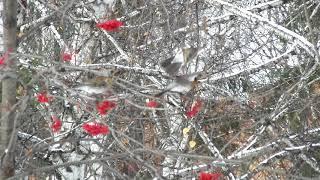 ЙөрәкТау! Чудо птицы дрозды рябинники