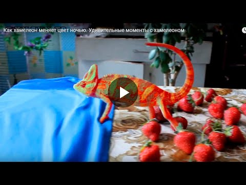 Вопрос: Какого цвета хамелеон после смерти?