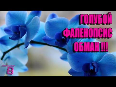 ГОЛУБОЙ  ФАЛЕНОПСИС - ОБМАН. ОРХИДЕИ ФАЛЕНОПСИС  #ОРХИДЕИ