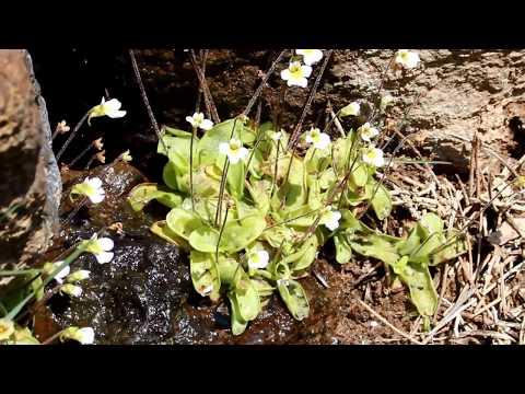 Pinguicula crystallina Sm. - Near-endemic Carnivorous plant of Cyprus