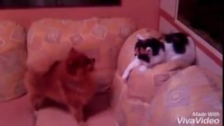 Кошки против собак!!!Шпиц Персик играет с кошкой.