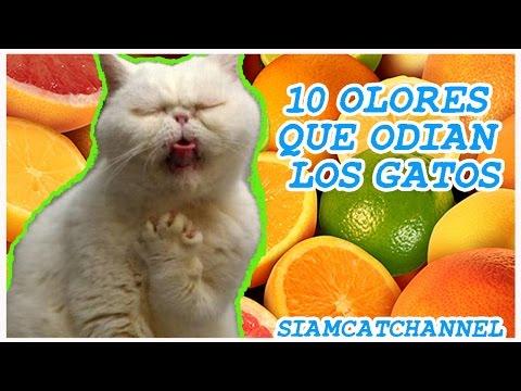 10 Olores Que Odian Los Gatos - SiamCatChannel