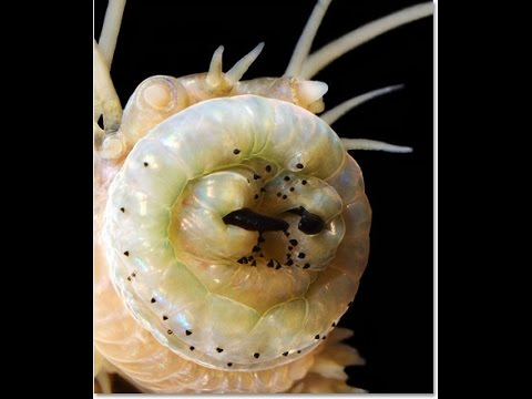 Scary marine worms are. น่ากลัว หนอนทะเล เป็นแบบนี้ Морское чудовище