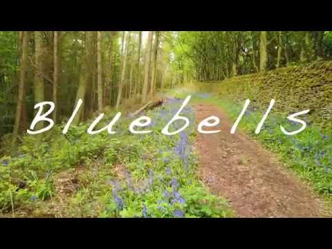 Bluebells in Derbyshire