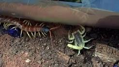 Escorpião vs Centopéia #2 - Luta Mortal