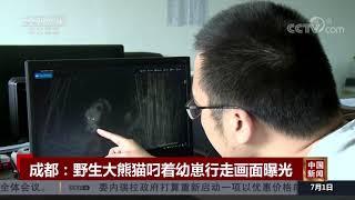 [中国新闻]成都:野生大熊猫叼着幼崽行走画面曝光| CCTV中文国际