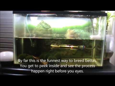 Betta Breeding Tank Setup