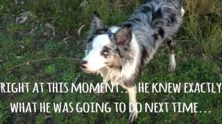 Ned the Blue Merle Border Collie - The 1st Year - 2