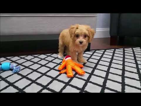 Cavapoo puppies for sale in Florida - Tampa - Ft  Myers - Sarasota - Miami  - Orlando