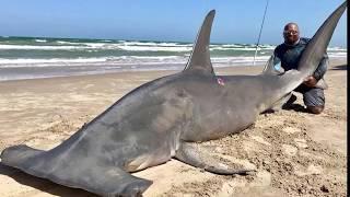 Fishermen Catch 14-foot-long Hammerhead Shark in Corpus Christi