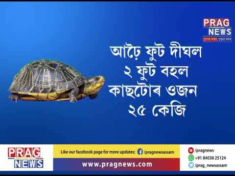 25 kg massive turtle recovered at Gohpur l Crowd throng to see this huge turtle