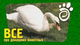 Прекрасные Лебеди (Часть Вторая). Все О Домашних Животных