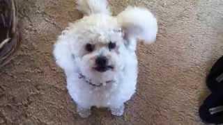 Walking Slush! A Poodle X Bichon Frise!